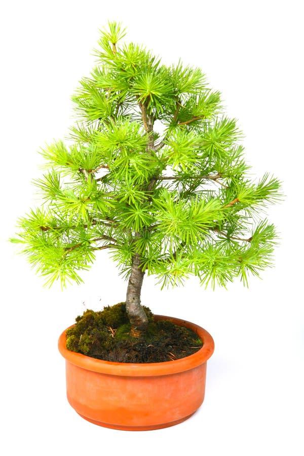 Larice dei bonsai immagine stock libera da diritti