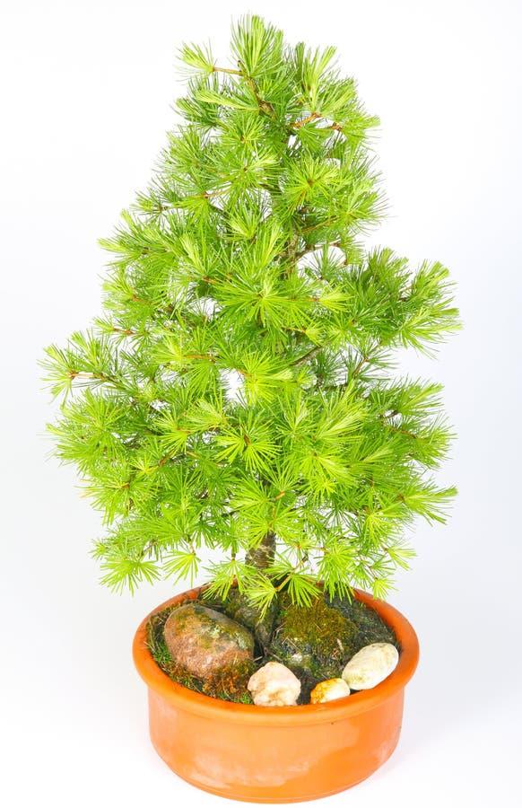 Larice dei bonsai immagini stock libere da diritti
