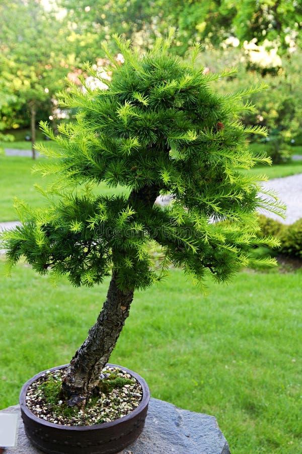 Larice dei bonsai fotografia stock libera da diritti