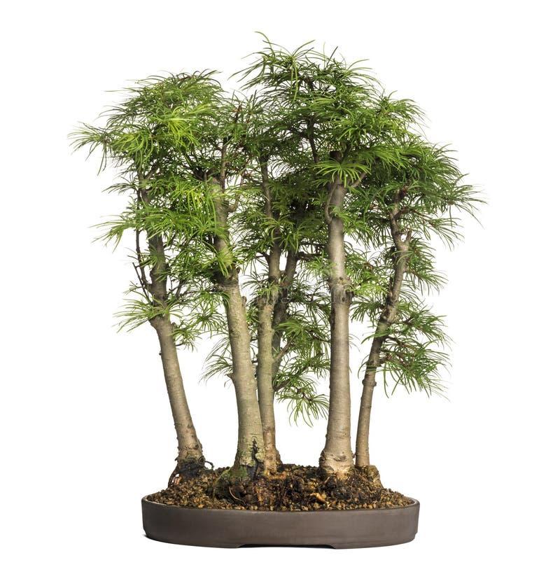 Larice dorato, albero dei bonsai, amabilis dello pseudolarix, isolati immagini stock libere da diritti