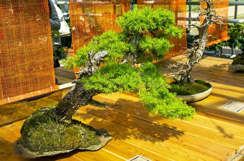 Larice europeo - bonsai nello stile di ` Inclined& x22; fotografie stock libere da diritti