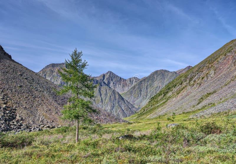 Larice solo in una tundra della montagna della Siberia orientale immagine stock libera da diritti