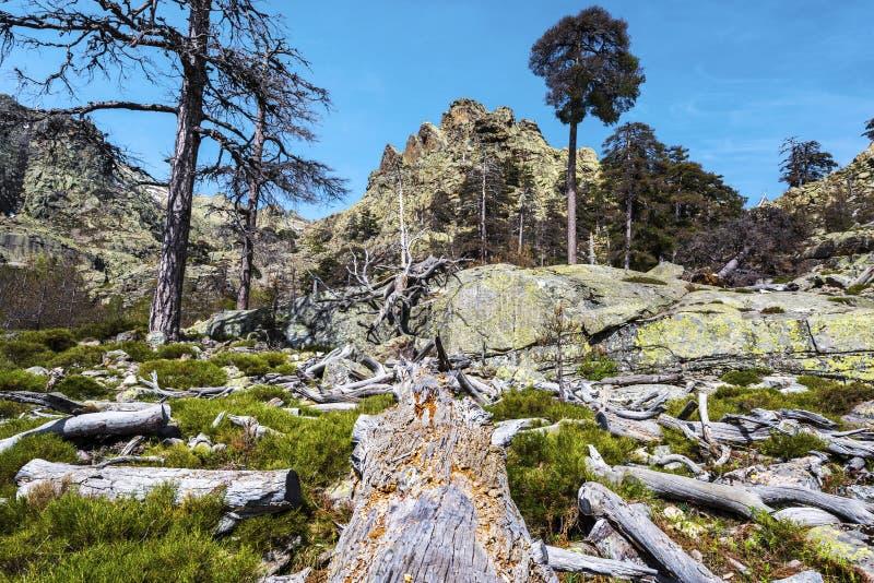 Laricio杉树死的树干在Valdo-Nielo森林里 免版税图库摄影