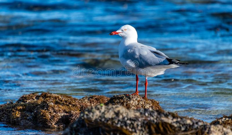 Laridae order Lari seagull perched on a rock in Rockingham. Western Australia royalty free stock images