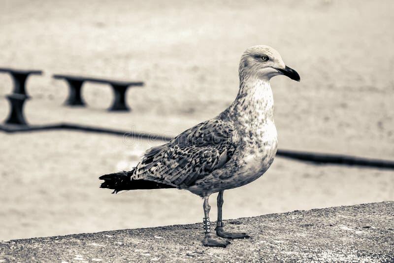 Laridae - seagull family birds stock image