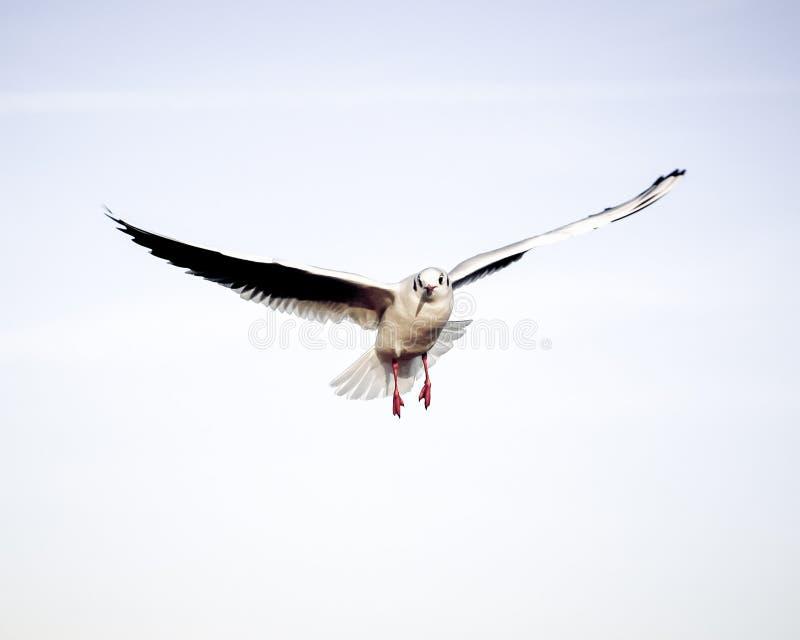 Laridae - seagull family birds. Flying on the blue sky royalty free stock photography