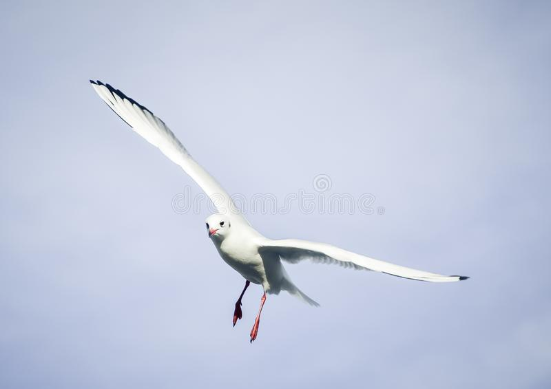 Laridae - seagull family birds. Flying on blue sky wing wings spread stock photos