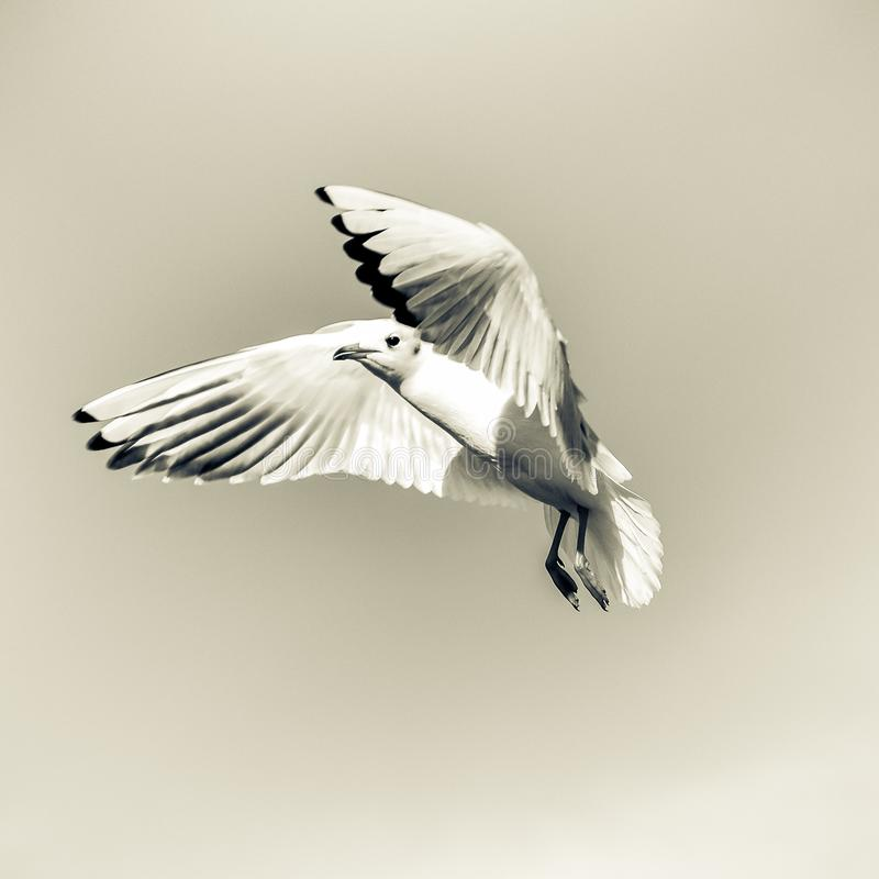 Laridae - seagull family birds. Flying in the air with wings spread stock image