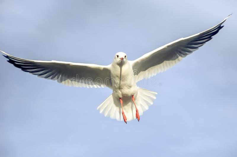Laridae - seagull family birds. Flying in the air with wings wide open royalty free stock images