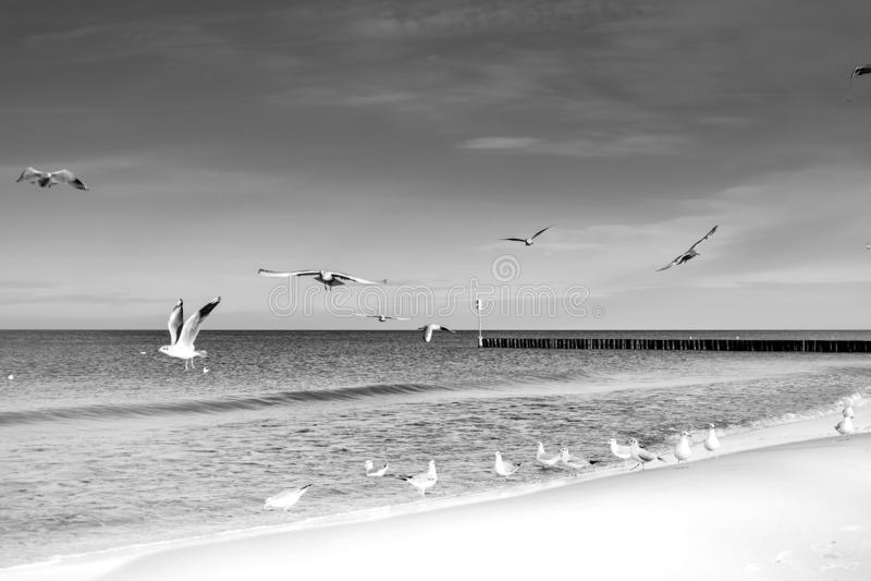 Laridae - seagull family birds. Flying near the seaside in Kolobrzeg, Poland, Baltic Sea royalty free stock photos