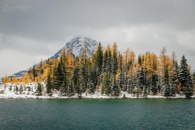 Lariksbomen in de herfstkleuren op de bank van het meer van Chester, Canada stock afbeeldingen