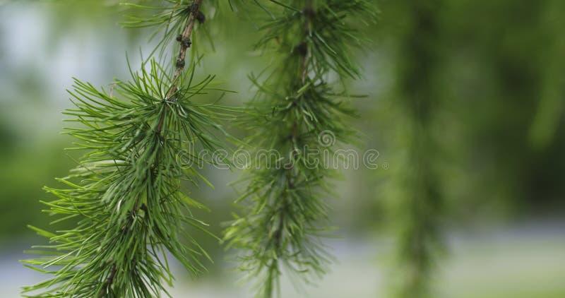 Lariksboom met kegels in de zomerdag royalty-vrije stock foto