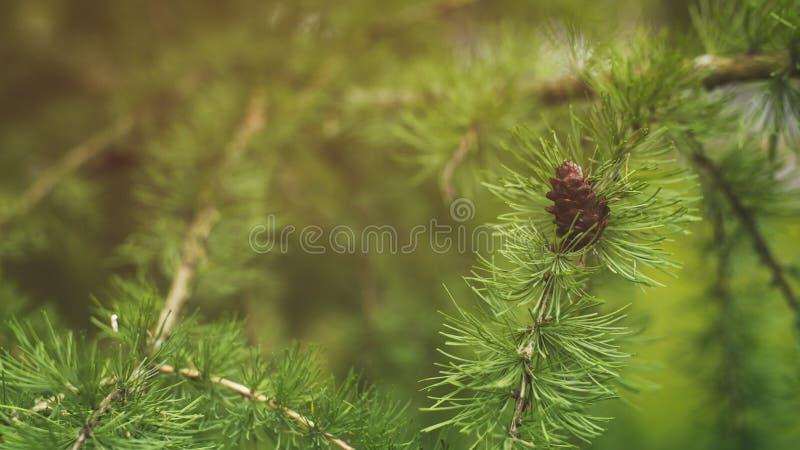 Lariksboom met kegels in de zomerdag stock foto