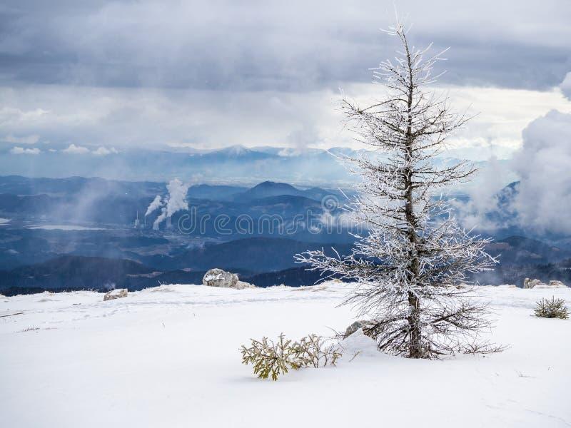 Lariksboom op een berg in de winter royalty-vrije stock afbeelding