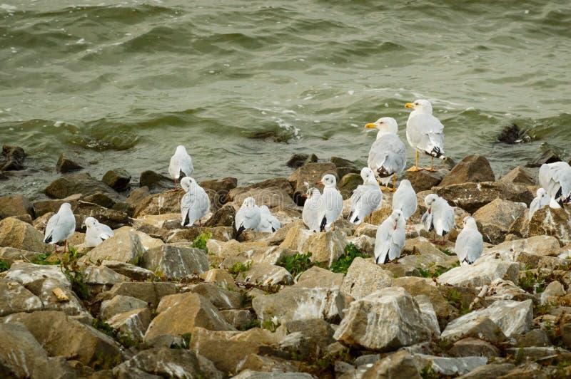 Larinae, eine Menge von den Seemöwen, die auf den Steinen auf dem Ufer des Sees sitzen stockbilder