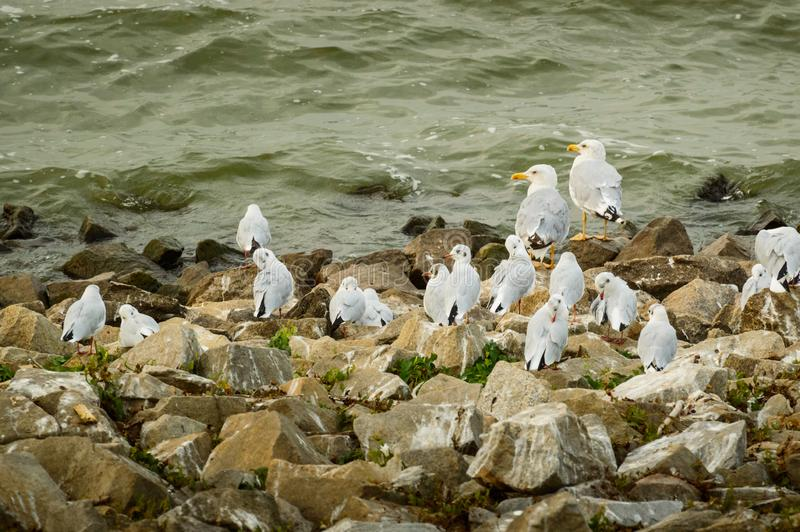 Larinae, una multitud de las gaviotas que se sientan en las piedras en la orilla del lago imagenes de archivo