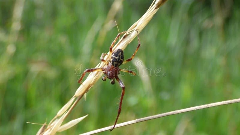 Larinioides-cornutus, die Furchenspinne stockbilder
