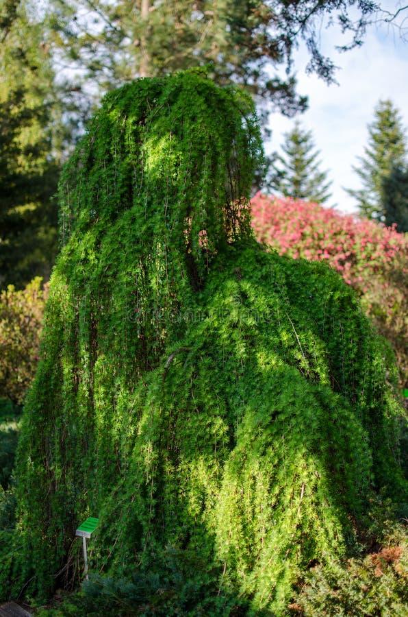 Larix kaempferi - Sztywny płaczący drzewo w ogródzie botanicznym w Polska Kwiecie? 2019 zdjęcia stock