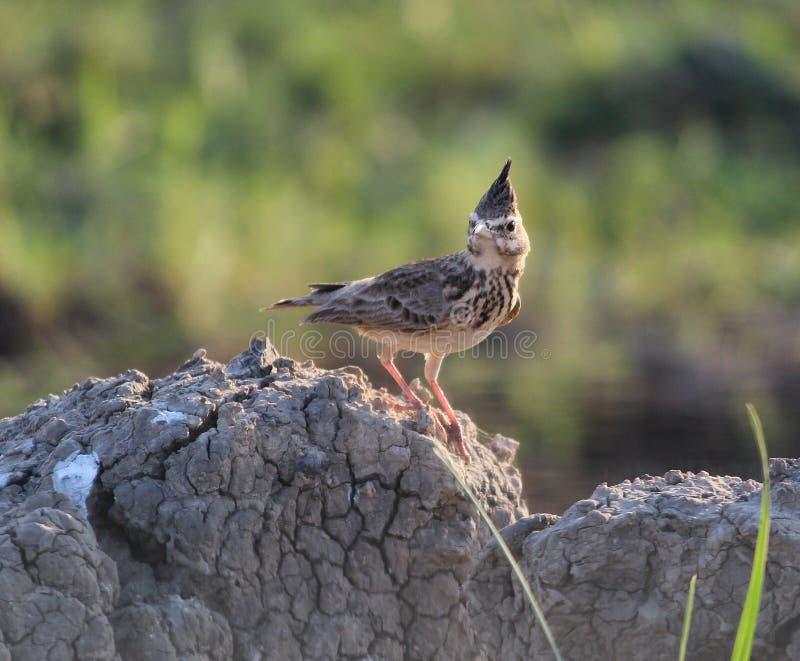 Lark Bird royaltyfria foton
