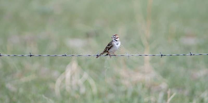 Lark Sparrow Chondestes grammacus på Barbed - trådstaket arkivfoton