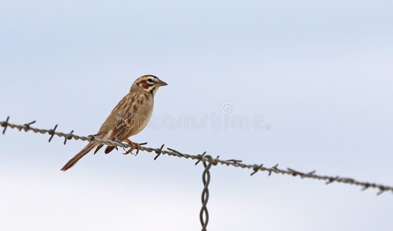 Lark Sparrow på en tråd arkivfoto