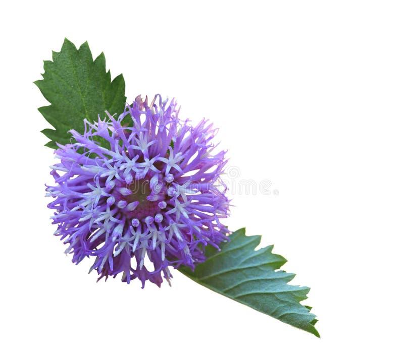 Larkdaisy kwiat zdjęcia stock