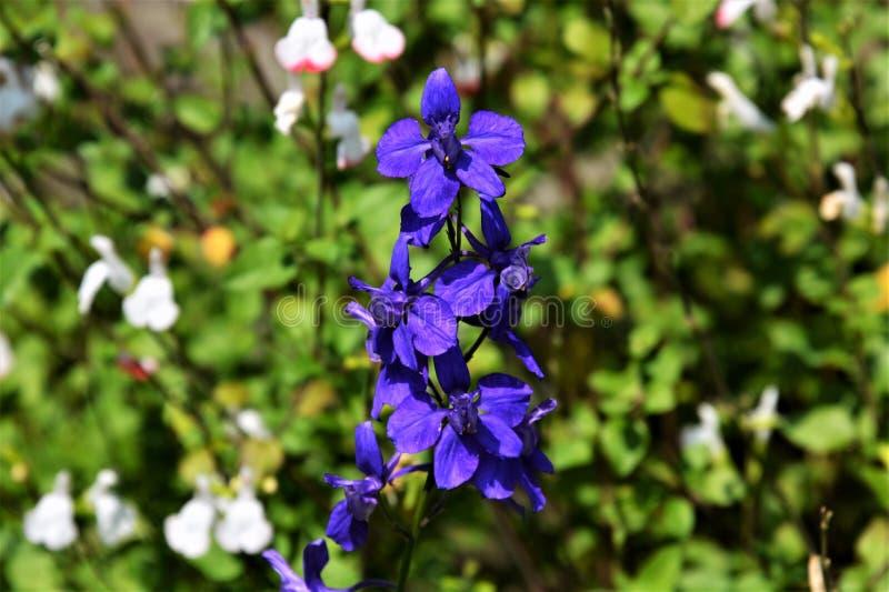 Larkspur bleu image stock