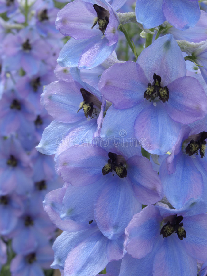 Larkspur (Delphinium elatum 'Morgentau') royalty free stock photos
