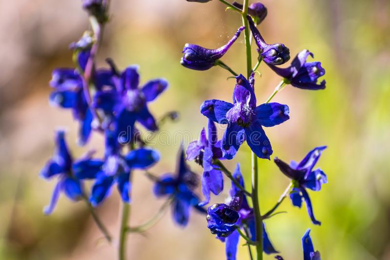 Larkspur Delphinium variegatum wildflowers, San Francisco bay area, California royalty free stock images