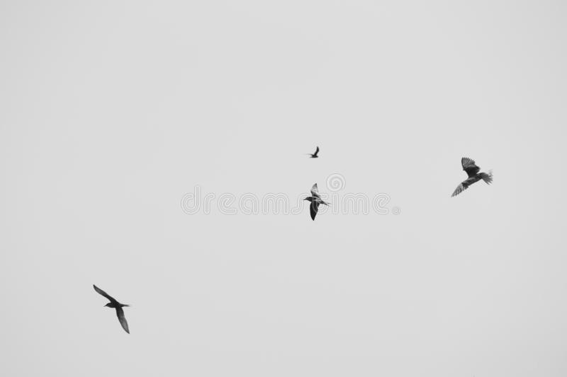 Larus argentatus. Birds in the sky. Black and white photo.  royalty free stock photo