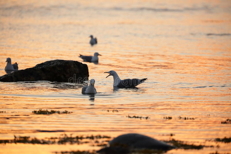 Larus argentatus, seagulls zdjęcie royalty free