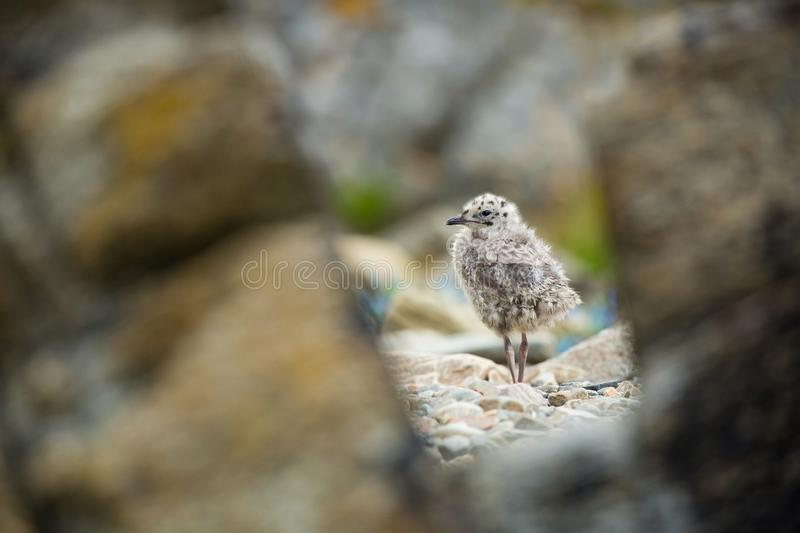 Larus canus. Norway`s wildlife. Beautiful picture. From the life of birds. Free nature. Runde Island in Norway. Scandinavian wildl. Ife. North of Europe. Picture stock photography