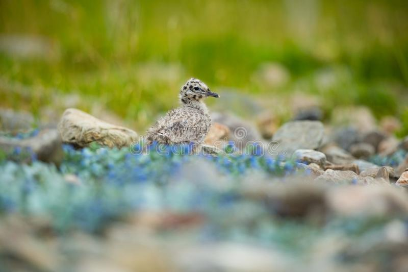 Larus canus. Norway`s wildlife. Beautiful picture. From the life of birds. Free nature. Runde Island in Norway. Scandinavian wildl stock photo