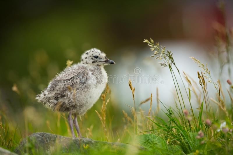 Larus canus. Norway`s wildlife. Beautiful picture. From the life of birds. Free nature. Runde Island in Norway. Scandinavian wildl royalty free stock photography