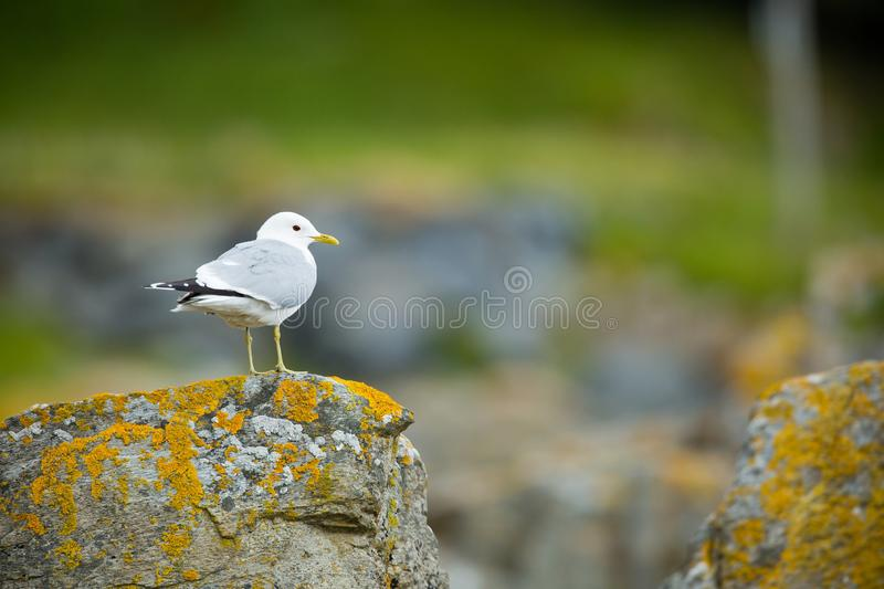 Larus canus. Norway`s wildlife. Beautiful picture. From the life of birds. Free nature. Runde Island in Norway. Scandinavian wildl royalty free stock photo