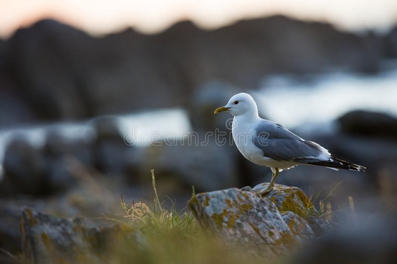 Larus canus. Norway`s wildlife. Beautiful picture. From the life of birds. Free nature. Runde Island in Norway. Scandinavian wildl. Ife. North of Europe. Picture royalty free stock photos