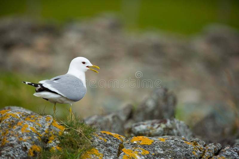 Larus canus. Norway`s wildlife. Beautiful picture. From the life of birds. Free nature. Runde Island in Norway. Scandinavian wildl. Ife. North of Europe. Picture royalty free stock images
