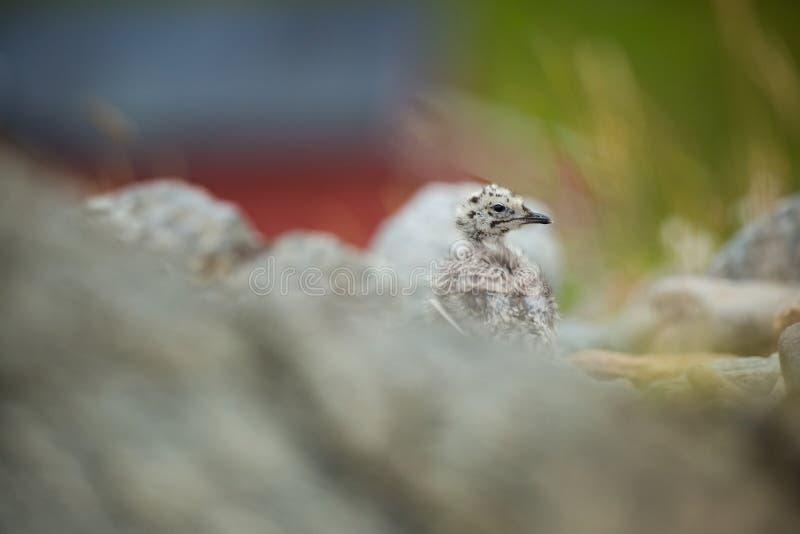 Larus canus Norwegens wild lebende Tiere Sch?ne Abbildung Vom Leben von V?geln Freie Natur Runde-Insel in Norwegen Skandinavische stockbilder