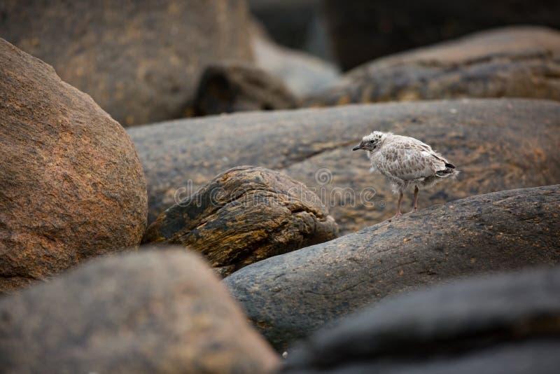 Larus canus Norwegens wild lebende Tiere Sch?ne Abbildung Vom Leben von V?geln Freie Natur Runde-Insel in Norwegen Skandinavische lizenzfreie stockfotos