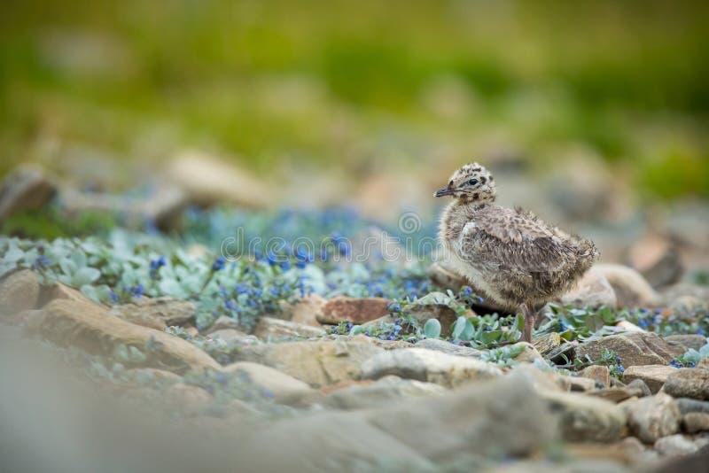 Larus canus Norwegia przyroda pi?kny obrazek Od ?ycia ptaki wolna od natury Runde wyspa w Norwegia Skandynawski wildl obraz royalty free
