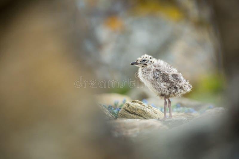Larus canus Norwegia przyroda pi?kny obrazek Od ?ycia ptaki wolna od natury Runde wyspa w Norwegia Skandynawski wildl fotografia stock