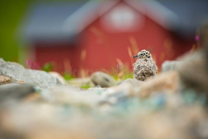Larus canus Norwegia przyroda pi?kny obrazek Od ?ycia ptaki wolna od natury Runde wyspa w Norwegia Skandynawski wildl obrazy stock