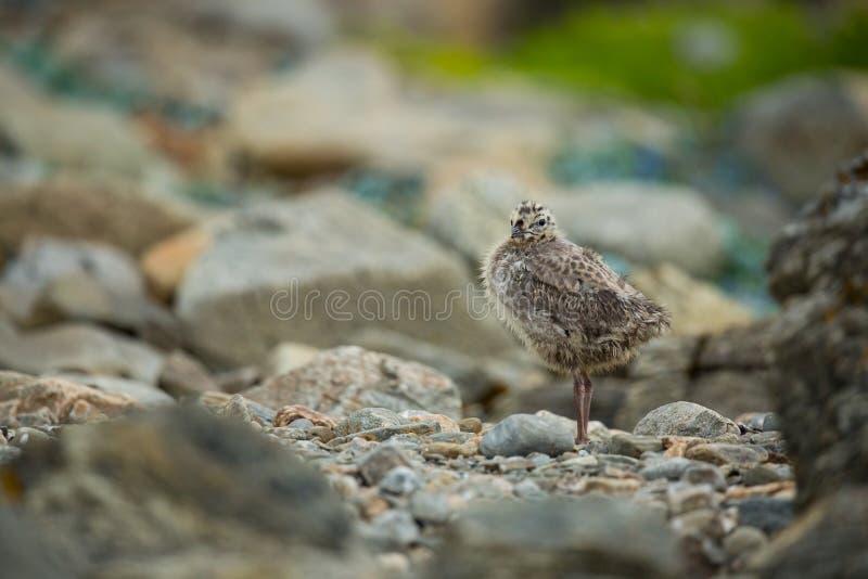 Larus canus Norwegia przyroda pi?kny obrazek Od ?ycia ptaki wolna od natury Runde wyspa w Norwegia Skandynawski wildl obraz stock