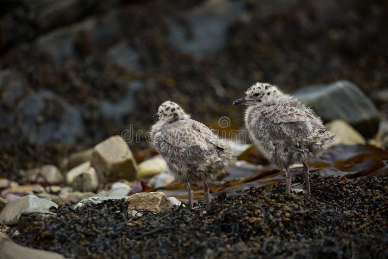 Larus canus Norwegia przyroda pi?kny obrazek Od ?ycia ptaki wolna od natury Runde wyspa w Norwegia Skandynawski wildl zdjęcie royalty free