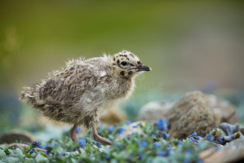 Larus canus Norwegia przyroda pi?kny obrazek Od ?ycia ptaki wolna od natury Runde wyspa w Norwegia Skandynawski wildl zdjęcia stock
