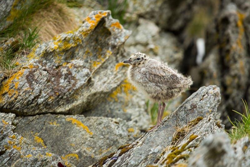 Larus canus Norwegia przyroda pi?kny obrazek Od ?ycia ptaki wolna od natury Runde wyspa w Norwegia Skandynawski wildl fotografia royalty free