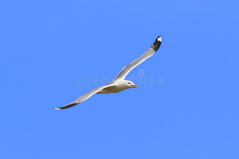 Larus canus. Seagull flies gracefully in Siberia royalty free stock photography