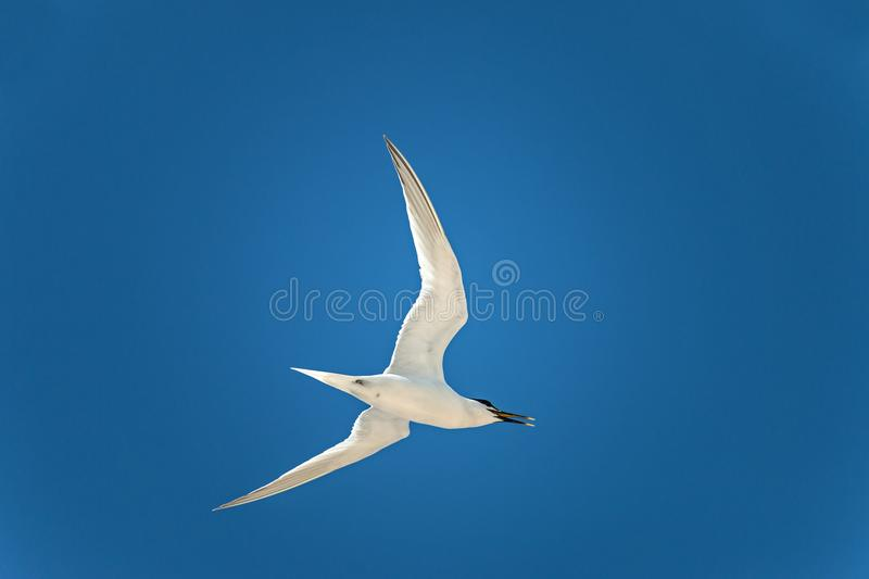 Larus. The lesser black-backed gull Larus fuscus flying to cloud the sky background stock photo
