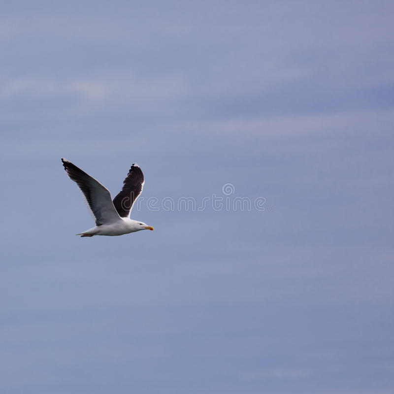Download Larus Marinus stock photo. Image of gull, laridae, wildlife - 20455130
