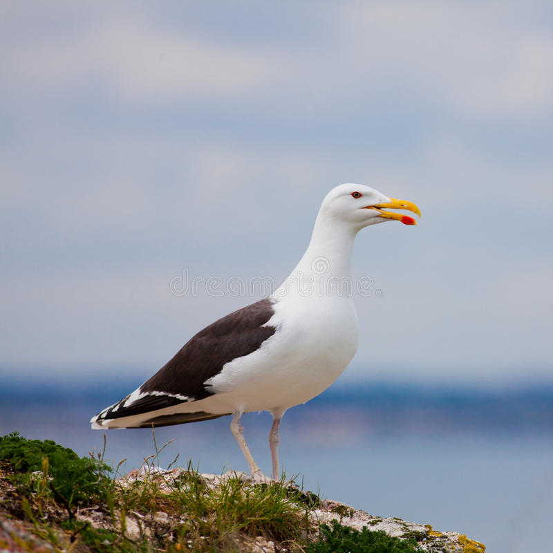 Larus Marinus. (Great Black-backed Gull) overlooking the sea from high grounds stock image